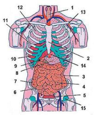 kroppens organ och dess funktioner
