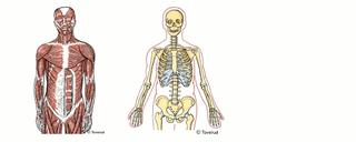 skelett leder och muskler